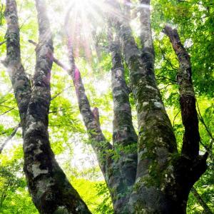 巨木 茶臼山
