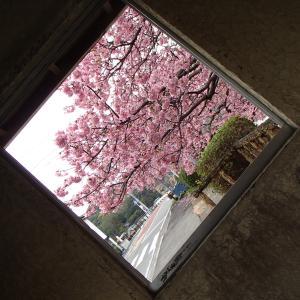 みなみの桜 2020