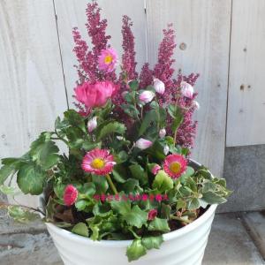 ローダンセとエリカのピンクで寄せ植え