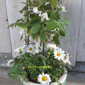 ウインタークレマチスとノースポールの寄せ植え
