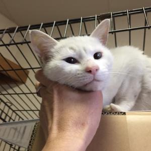 緊急!!!白猫さん、あなたのお家はどこですか?