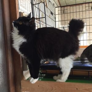 めっちゃ可愛い黒白猫の「鈍ちゃん」は長毛です。