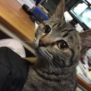 キジトラ猫のカシス君をご紹介します。