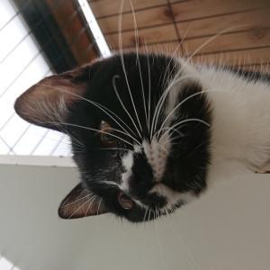 新入り 黒白猫 モンちゃんのご紹介。