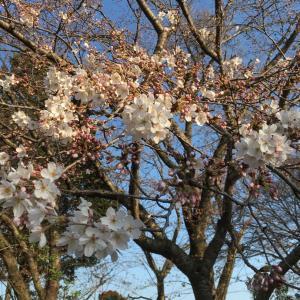 もう桜が咲いています