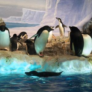 ペンギン(名古屋港水族館)2019年9月6日撮影