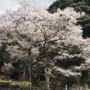 鵜飼桜と岐阜護国神社(2020年3月21日撮影)