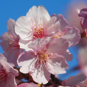 水都大垣の春2020(野鳥と早咲き桜)3月7日、14日、20日撮影