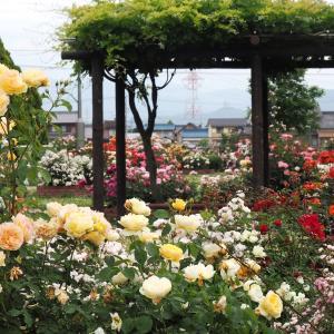 バラの町-安八郡神戸町バラ公園(2020年5月23日撮影)-その3