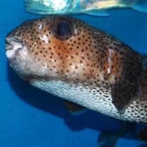 日本の海の魚(竹島水族館)2020年2月22日撮影