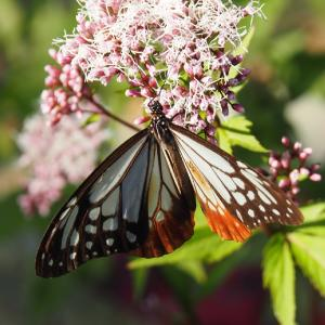 2000km海を渡り旅する蝶-アサギマダラ(加南ふれあいの森)2020年10月24日撮影