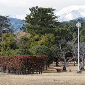 美濃国分寺跡と山茶花(2021年1月9日撮影)
