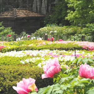 中山道赤坂宿お茶屋敷跡のボタン園(2021年4月24日撮影)