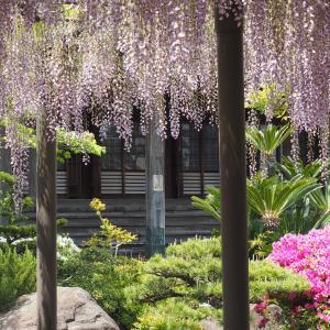竹鼻別院の藤(2021年4月30日撮影)