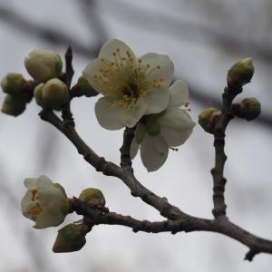 続-岐阜市梅林公園(2019年2月16日撮影)