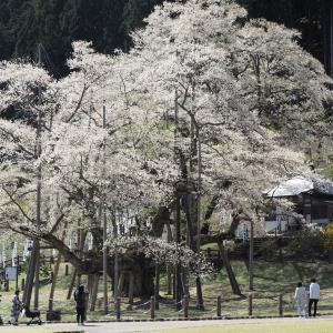 根尾谷の春と淡墨桜(2019年4月13日撮影)