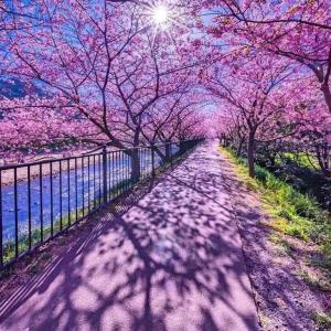 今年の河津桜満開予想