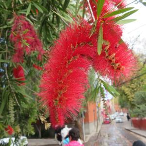 メキシコ ブラシの木
