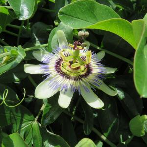 トケイソウ お隣に咲きます