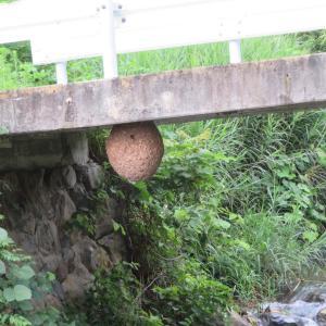 スズメバチの巣 40㎝ほどあります キケン 地元の人に聞いたら今年の巣