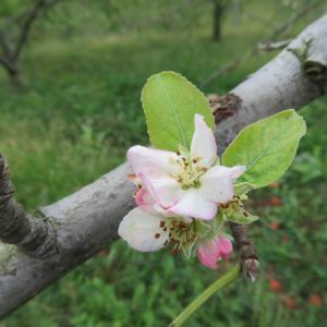 返り咲き リンゴの花