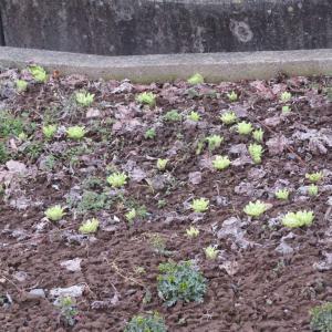 フキノトウ 植えられたもの