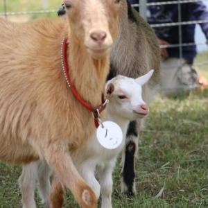 ノンちゃんはヤギのお母さん(^^♪