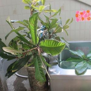イベント風呂 ~びわの葉湯~