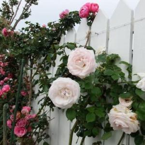 光栄館のバラ