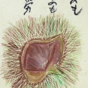 栗の絵手紙