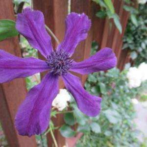 梅雨のあいだに咲くお花