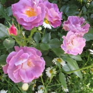バラと宿根草のガーデンです