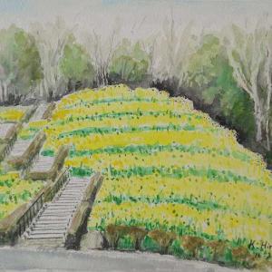 金沢自然公園、菜の花畑