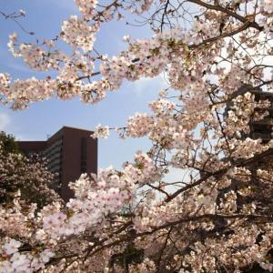 ★3月も椿山荘で非日常、桜満開で妻の誕生祝い。