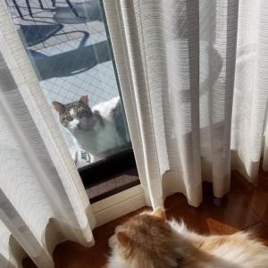 《保護猫》くーちゃんと《さくらねこ》マリアンヌの恋