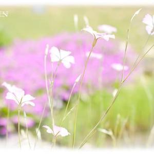 葦毛湿原 秋の花 シラタマホシクサ