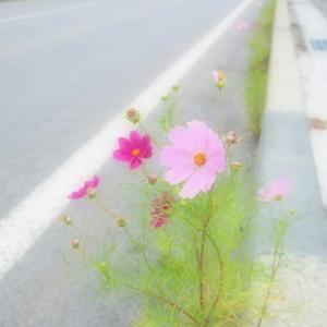 サラシナショウマ 伊吹山の花
