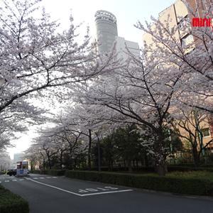 桜の名所特集~リバーサイド編~