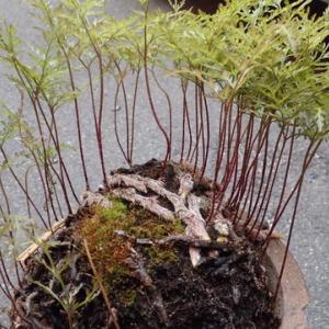 我が家のシダ植物