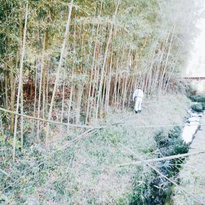 竹藪間引きと収穫
