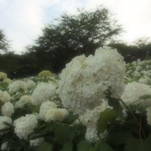 夏至の日・早朝ポタリング ~権現堂の紫陽花編~