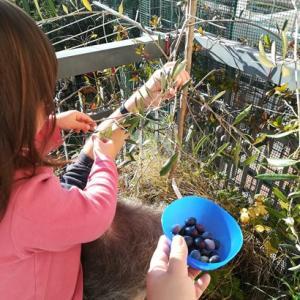 【収穫の秋】テラスのオリーブの収穫♪