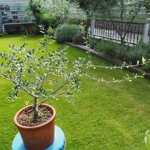 美しい斑入りオリーブの新芽と挿し木リベンジ