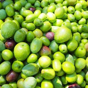 オリーブの収穫をしました2019