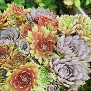 今の時期にいい色の多肉植物と七夕結婚記念日