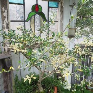 斑入りオリーブのキレイな斑入り葉と挿し木