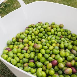 オリーブの収穫インスタゲリラLIVE♪