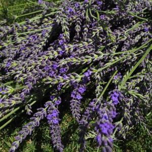 ラバンディンラベンダー・グロスブルーの収穫