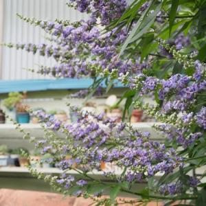 夏に爽やかな青い花木セイヨウニンジンボク