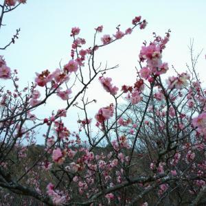 梅がそろそろ咲きますね!